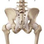 medical accurate illustration of the hip ligaments